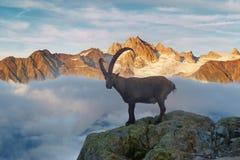 在勃朗峰Monte Bianco背景的高山高地山羊山羊属高地山羊 在Vallon de Berard自然保护的有薄雾的夏天早晨 免版税库存照片