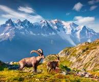在勃朗峰Monte Bianco backgr的高山高地山羊山羊属高地山羊 库存图片
