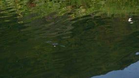 在勾子的鳟鱼 在设法的水外面的鱼逃脱责任 慢的行动 影视素材