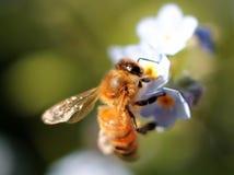 在勿忘草的蜂蜜蜂 库存照片