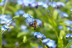 在勿忘草的蜂 免版税图库摄影