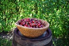 在包伙食的新鲜的甜樱桃 庭院新鲜的有机樱桃 图库摄影