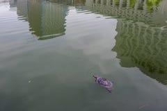 在包围有周围的摩天大楼的反射的护城河的水生乌龟东京故宫,日本 库存照片