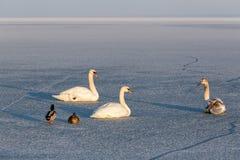 在匈牙利的巴拉顿湖的冬天日落有疣鼻天鹅的 库存图片