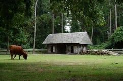 在北卡罗来纳农场的操舵公牛 免版税库存图片