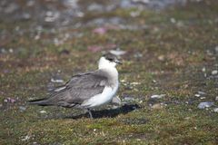 在北极寒带草原的Akua 免版税库存图片