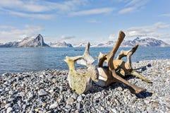 在北极海岸的老鲸鱼骨头  库存图片