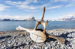 在北极海岸的老鲸鱼骨头 免版税库存照片