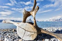 在北极海岸的老鲸鱼骨头  库存照片