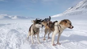 在北极狗雪撬队多壳的爱斯基摩路的人远征在北极 股票录像