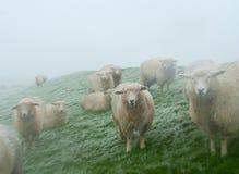 在北海的绵羊在雪风暴支持 胡苏姆,德国 免版税库存照片