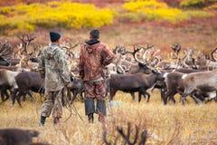 在北美驯鹿牧群背景的两位驯鹿交配动物者在秋天 库存照片