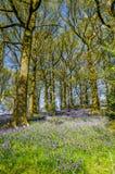 在北英国木头的会开蓝色钟形花的草 库存照片