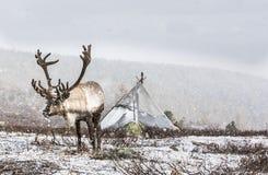 在北蒙古勒住在雪的鹿 免版税库存照片