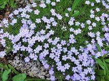 在北部小瀑布的开花的福禄考花 免版税库存图片