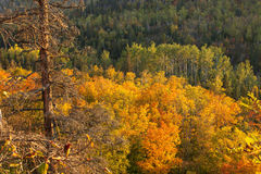 从在北M的奥伯格山和槭树观看的秋天白杨木 免版税库存照片