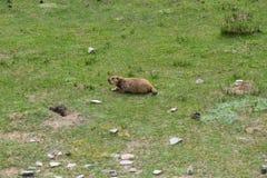 在区域附近的土拨鼠在Tso Moriri湖附近在拉达克,印度 土拨鼠是大灰鼠活在地面下 库存图片