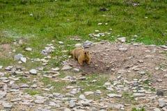 在区域附近的土拨鼠在Tso Moriri湖附近在拉达克,印度 土拨鼠是大灰鼠活在地面下 免版税库存图片