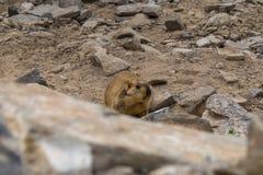 在区域附近的土拨鼠在Tso Moriri湖附近在拉达克,印度 土拨鼠是大灰鼠活在地面下 免版税库存照片