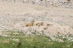 在区域附近的土拨鼠在Tso Moriri湖附近在拉达克,印度 免版税图库摄影