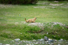在区域附近的土拨鼠在Tso Moriri湖附近在拉达克,印度 免版税库存图片