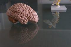 在医疗办公室桌上的脑子模型  免版税库存照片