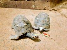 在午餐时光的两三只乌龟 免版税库存图片