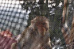 在午餐时间的猴子 图库摄影