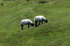 在午餐期间的幼小绵羊 图库摄影