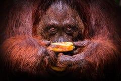 在午餐的Bornean猩猩 免版税库存照片