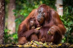 在午餐的Bornean猩猩 库存图片