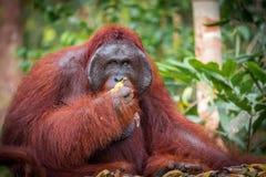 在午餐的Bornean猩猩 免版税库存图片