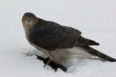 在午餐的Sparrowhawk 免版税库存照片