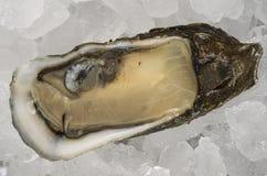 在半壳的牡蛎 库存图片