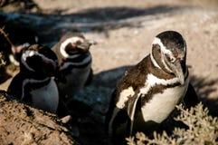 在半岛瓦尔德斯的企鹅 库存照片
