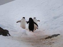 在半月海岛上的Chinstrap企鹅在南极洲 库存图片