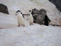 在半月海岛上的Chinstrap企鹅在南极洲 库存照片