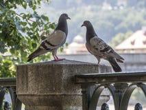 在华丽锻铁篱芭的两只鸽子 图库摄影