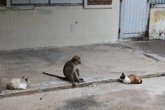 在华欣,泰国胡闹坐在两只野生猫之间的路 库存图片