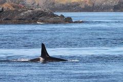 在华盛顿海岸的海怪鲸鱼 库存图片