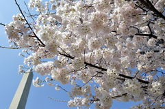 在华盛顿特区的春天樱桃开花 库存图片