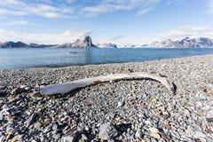 在卑尔根群岛海岸的老鲸鱼骨头,北极 库存照片