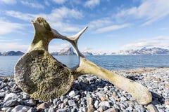 在卑尔根群岛海岸的老鲸鱼骨头,北极 免版税库存图片