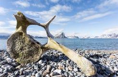 在卑尔根群岛海岸的老鲸鱼骨头,北极 免版税库存照片