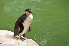 在单独动物园的企鹅 免版税库存图片