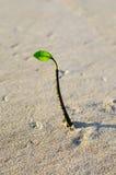 在单独海滩的生长植物芽 库存照片