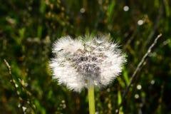 在单独生长的草甸的蒲公英 免版税库存图片