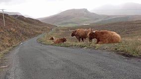 在单磁道路旁边的苏格兰高地牛在斯凯-苏格兰的小岛 影视素材