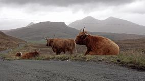 在单磁道路旁边的苏格兰高地牛在斯凯-苏格兰的小岛 股票视频