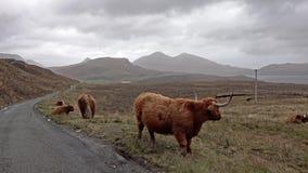在单磁道路旁边的苏格兰高地牛在斯凯-苏格兰的小岛 股票录像